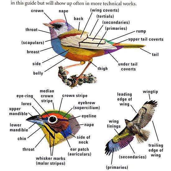 diagram of bird markings   get into birding: 10 tips for watching in  wildlife   bhg com