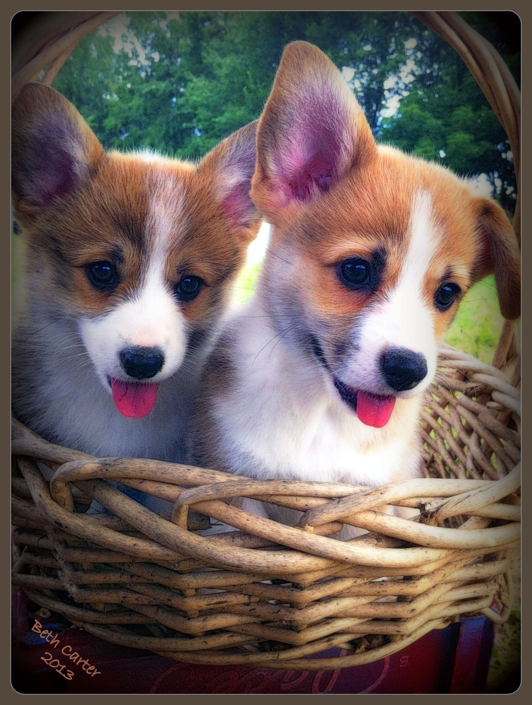 A basket full of puppy love -- the Pembroke Welsh Corgi
