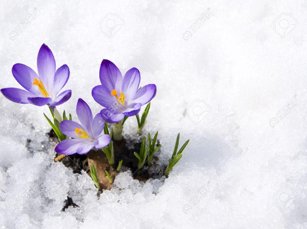 Image result for crocuses pinterest winter garden image result for crocuses mightylinksfo