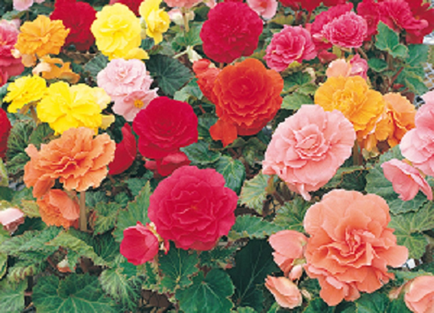 Begonias Pictures With Names Gardeners' Guide Begonia