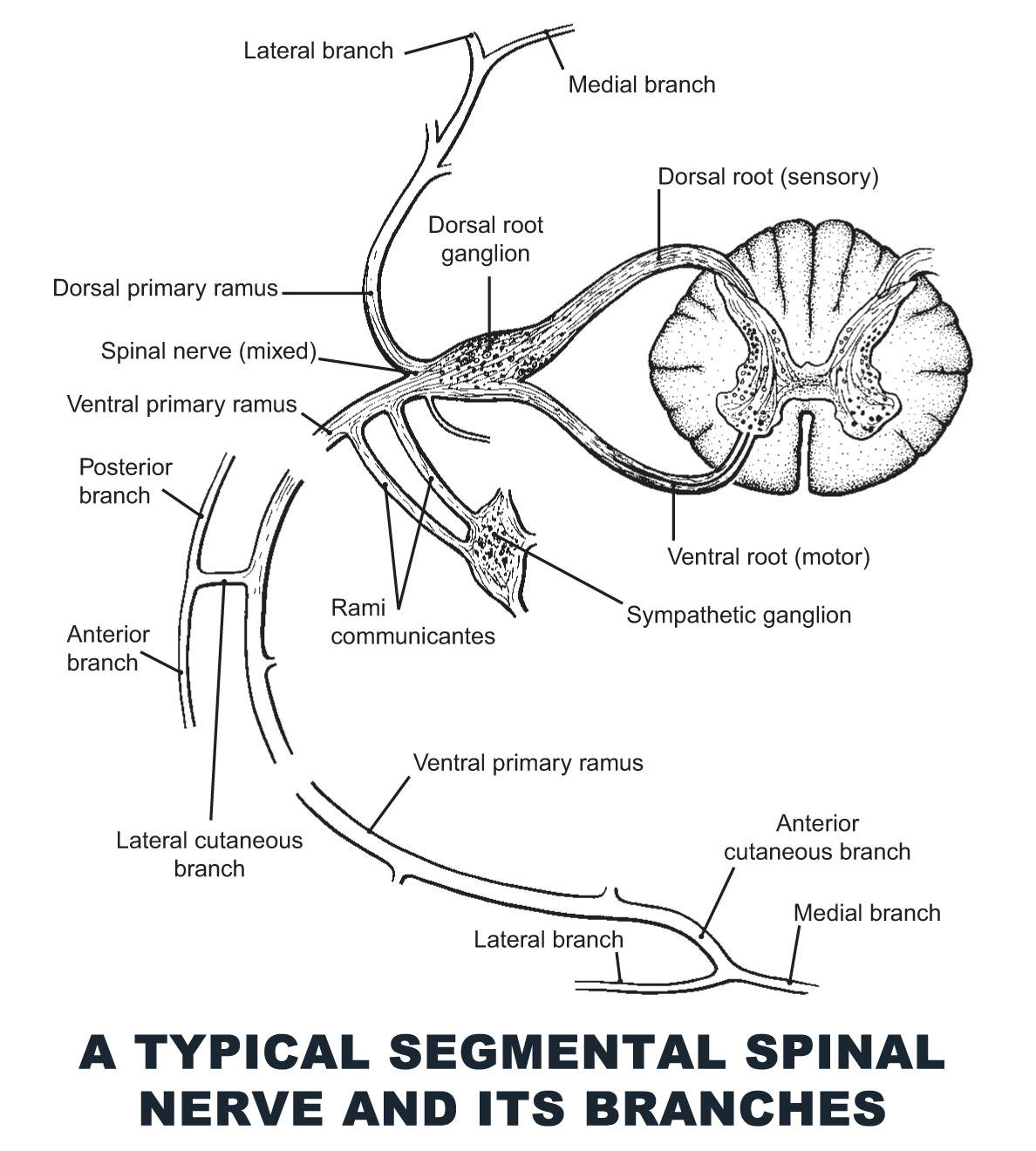A Typical Segmental Spinal Nerve and Its Branches - #anatomy images ...