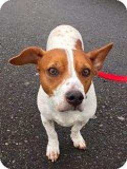 Beagle Corgi Mix Dog For Adoption In Bellingham Washington Izzy