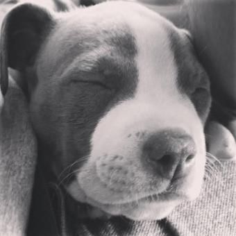 small american bully puppies for sale puppies for sale