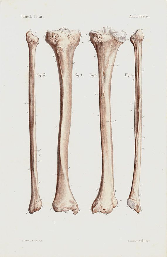 Antique print 1850 Antique ANATOMY print, Leg bones, the tibia and ...