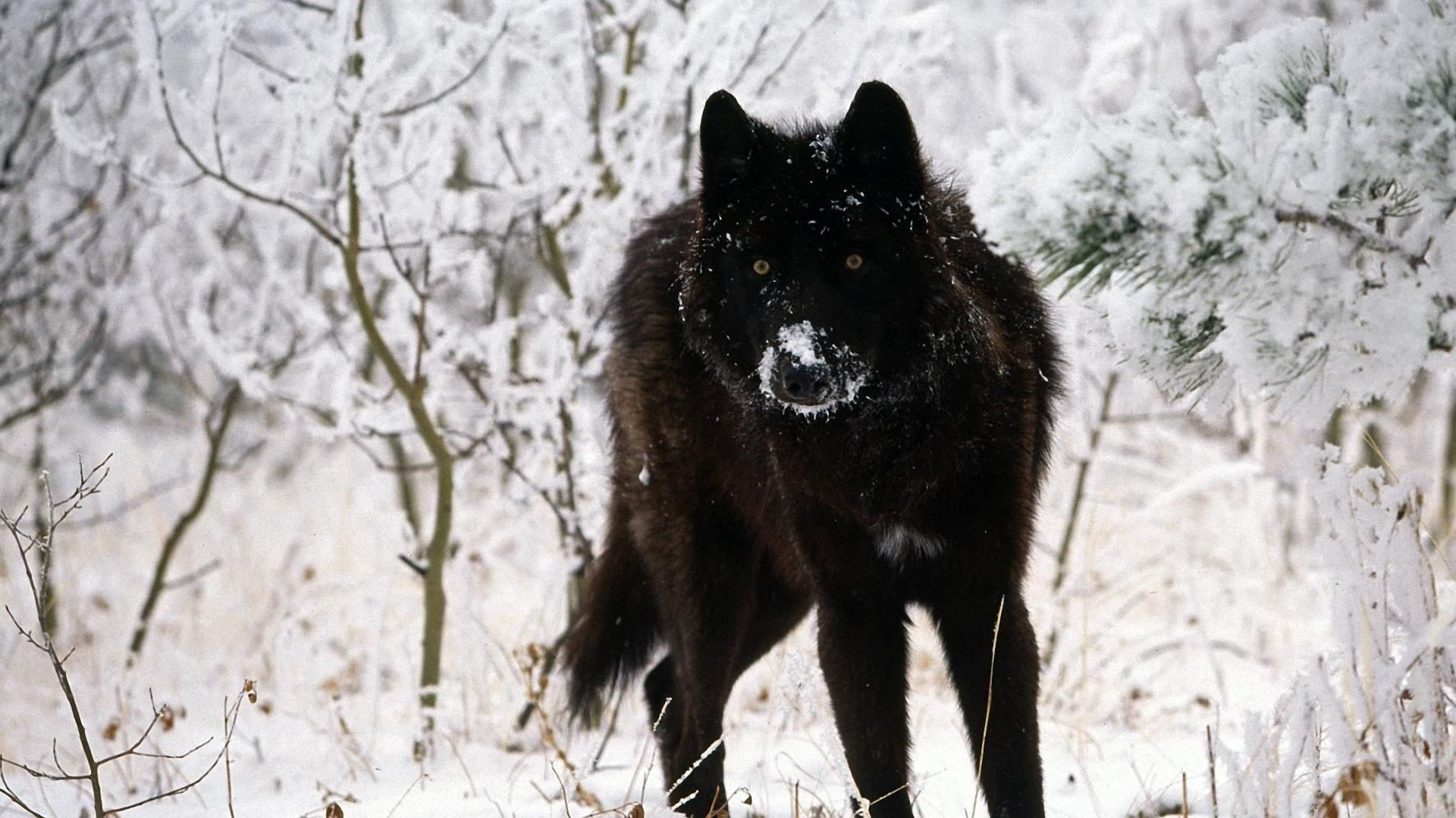 Mystic wolf wallpaper wolves animals wallpapers for free