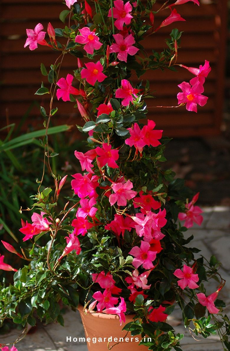 Rock Trumpet Plant How To Care Mandevilla Vine Plant In Your Home
