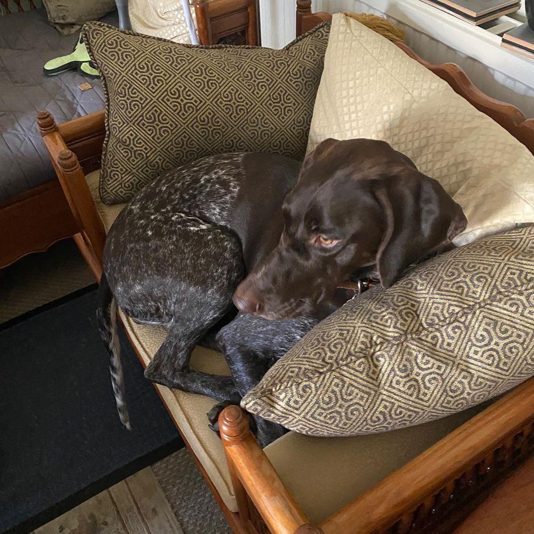 """Grandma got herself a new chair. Taxi was just """"testing"""" . . . . . . . . #gsp #gspofinstagram #gspoftheday #gsplove #gspcommunity #dogsofinstagram #dog #doglife #pointer #pointeroftheday #pointer_world #doglovers #pointerlove #pointerdog #birddog #taxithegsp"""