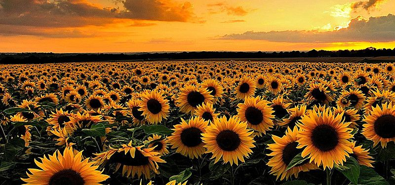 Aesthetic Sunflower Wallpaper Hd