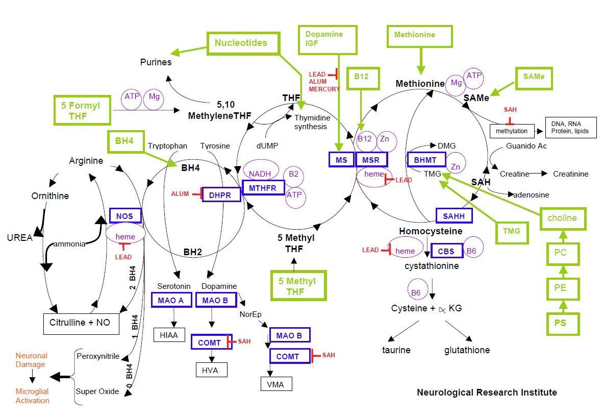 Methylation Cycle | Methylation Cycle Mercury Aluminum Lead Yasko