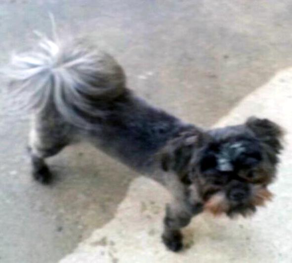 Lost Dog - Shih Tzu - Marysville, OH, United States 43040