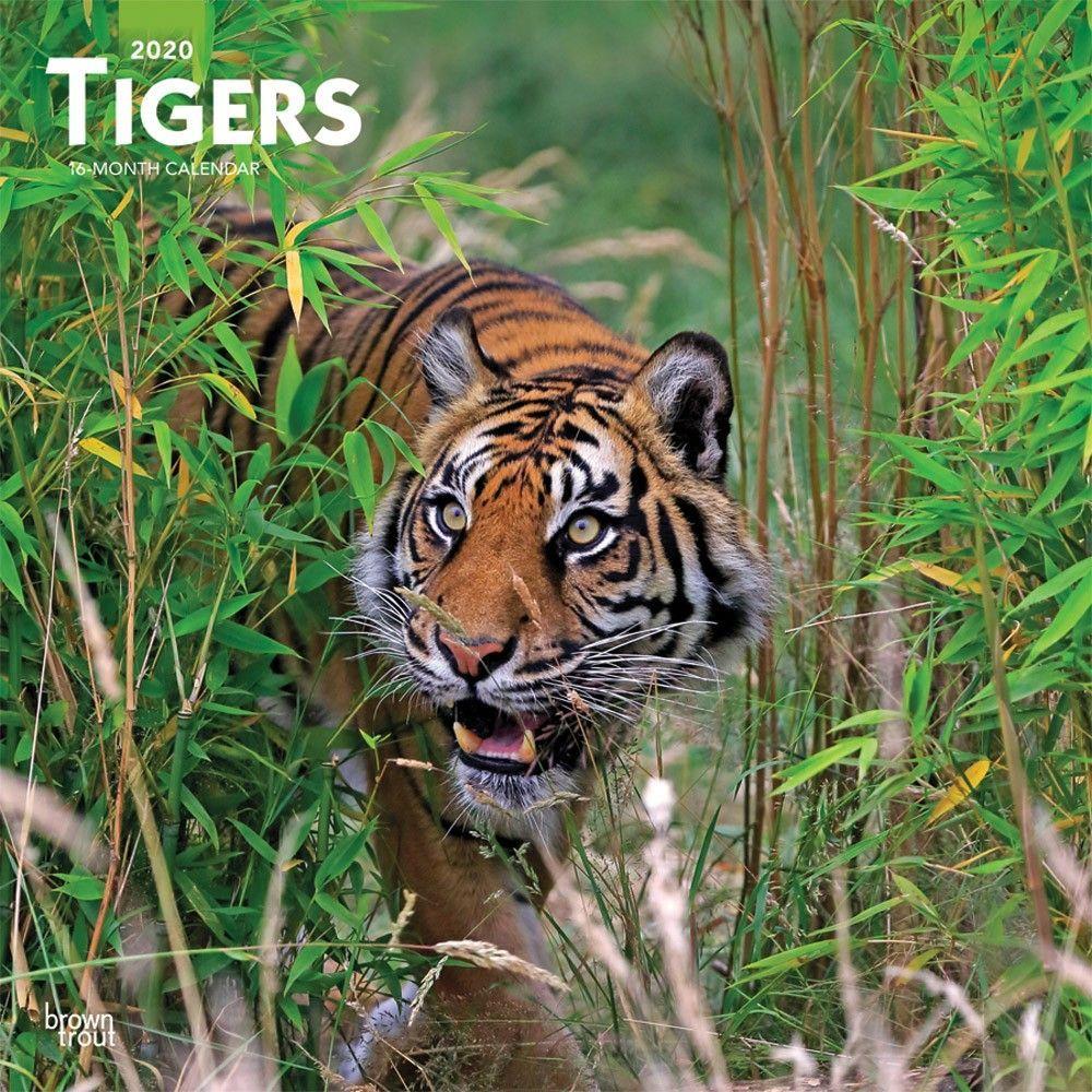 Tigers 2020 Wall Calendar Cat calendar, Big cats, Cat