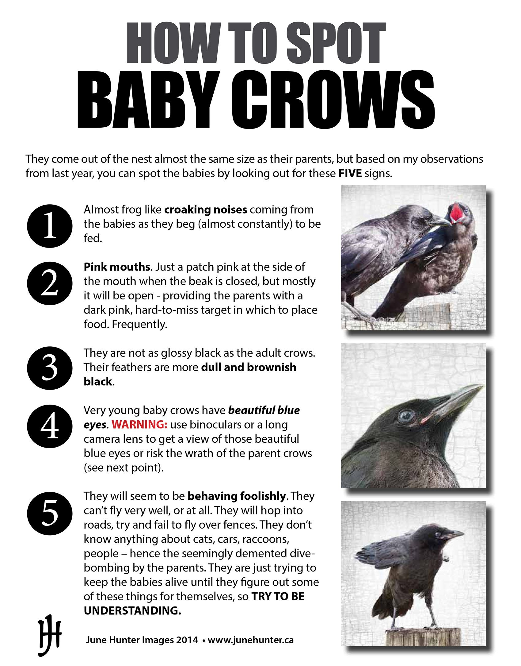 Httpsjunehunterimagesleswordpress201406how to spot its that time of year again with newspaper stories of crows attacking hapless pedestrians im posting my guide to baby crows which are the reason for buycottarizona