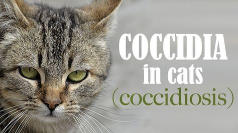 Coccidiosis In Kittens Kittens, Cats, Pets