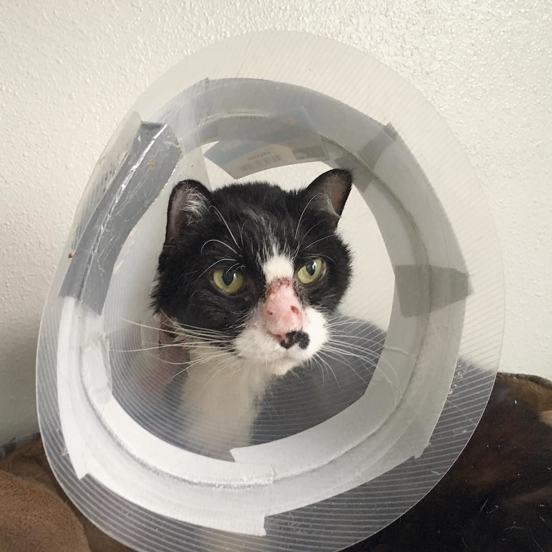 Mixy has been stuck in the cone of shame for weeks and weeks and he's been such an amazing sport about it. That little bit of crustiness on his nose is called eosinophilic granuloma and we're finally at the point where it's almost entirely healed (not that long ago it nearly covered his whole nose). Look at that wonderful healthy pink skin!  He's been through a lot with his treatments for this and other associated conditions that presented themselves: special diets pills eye drops trips to…