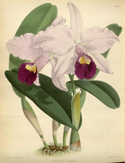 Tattoo Pin Cataleya Colombian Flower Cattleya Trianae Flor On Botanical Drawings Orchid Drawing Botanical Prints