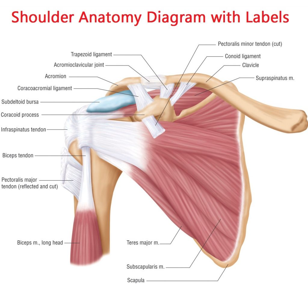 Shoulder Joints Anatomy Pinterest Shoulder Joint