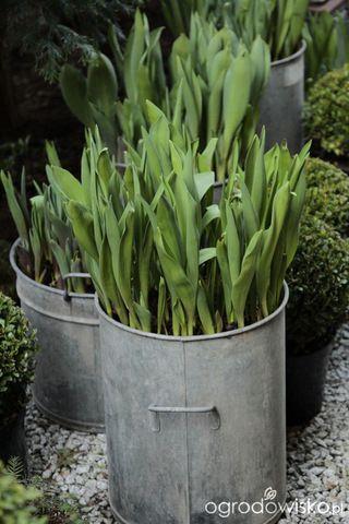 Galeria Zdjec Warstwowe Sadzenie Roslin Cebulowych W Duzych Pojemnikach Ogrodowisko Plants