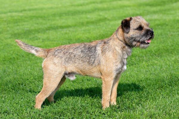 Border Terrier Active Hypoallergenic Dog For Families Border
