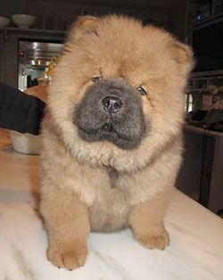 Chow Chows Chow Chow Dogs Cute Baby Animals Pets