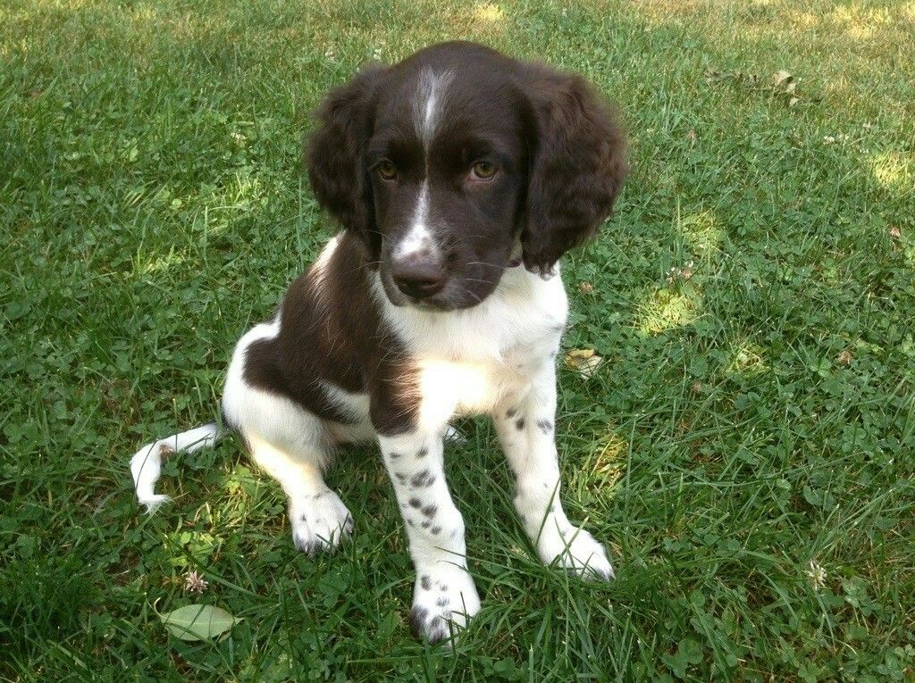 Small Munsterlander Terrier Puppies, Hunting dogs breeds