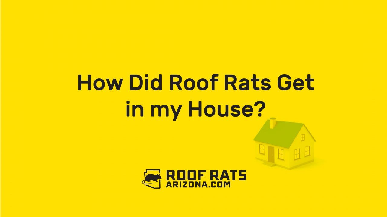 How did roof rats get in my house roof rats roof rats
