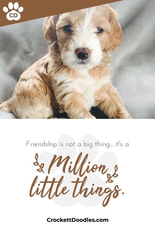 toygoldendoodlecrockettdoodles.jpg Cute animal photos