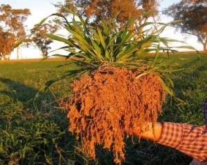 Nitrogen Fixing Bacteria and fungi colonising oat roots