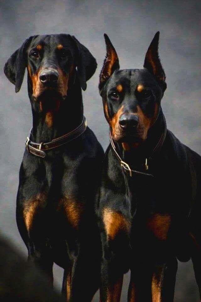 dobermann labrador
