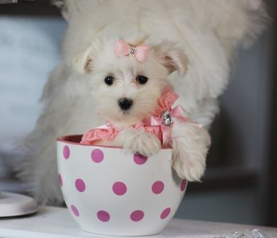 Marge The Maltese Available Now She Will Not Last Call Now 954 353 7864 Www Teacu Teacup Puppies Maltese Teacup Puppies For Sale Cute Teacup Puppies