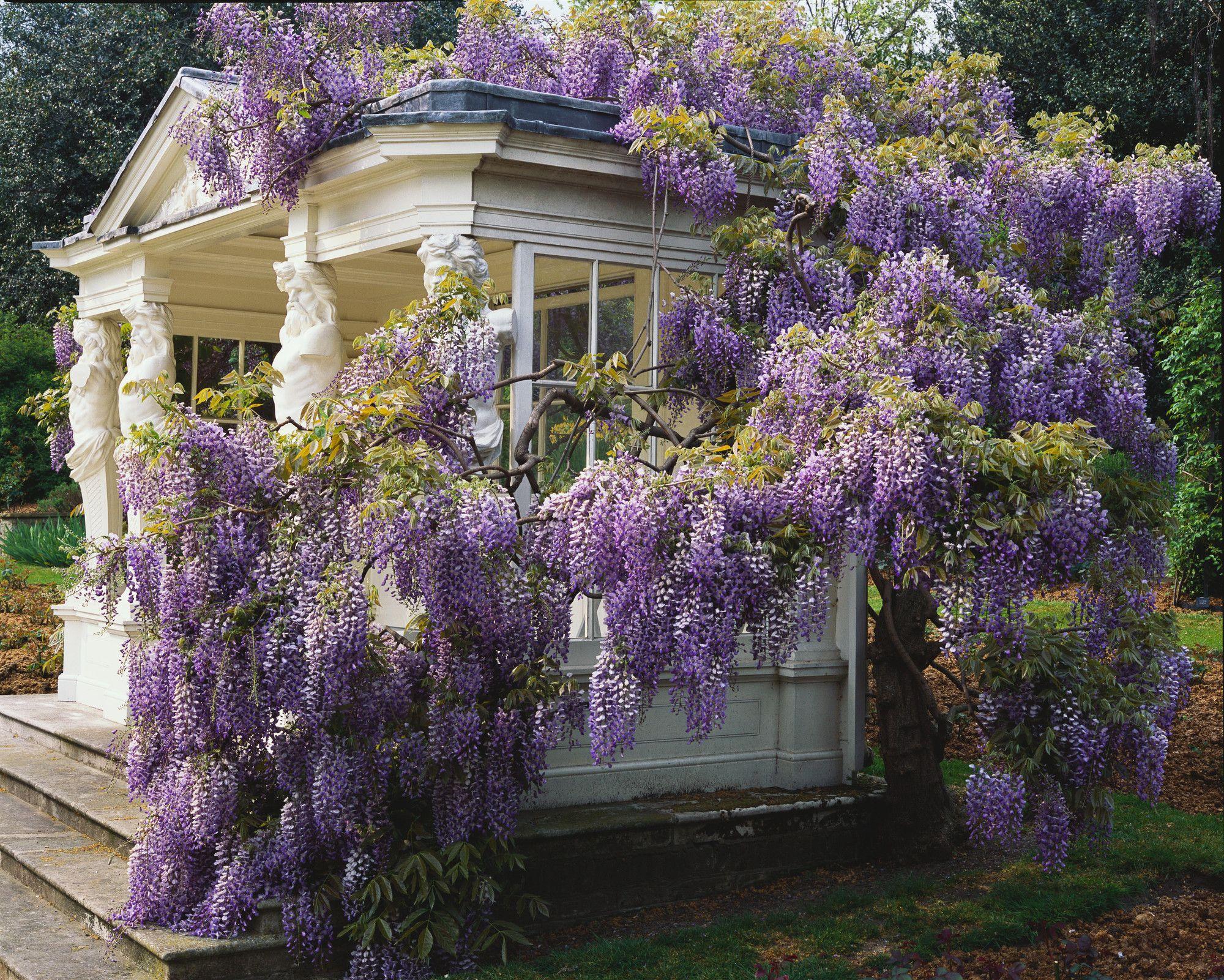 Buckingham Palace Gardens Beautiful Gardens Dream Garden Wisteria