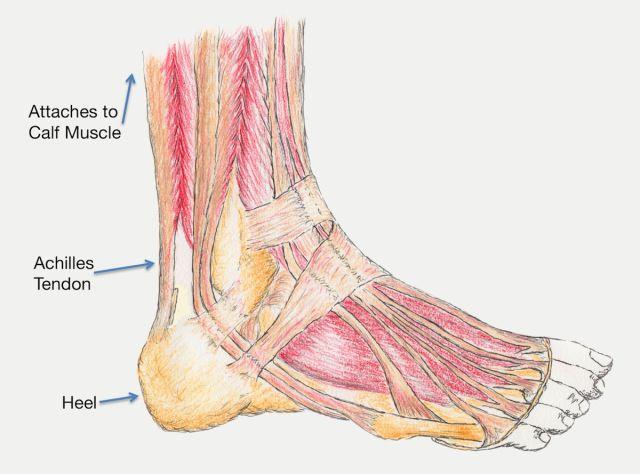 graphic pic of Achilles tendon anatomy | Health | Pinterest | Calf ...