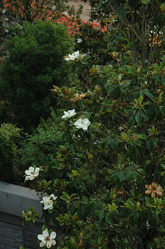 Bracken S Brown Beauty Magnolia Magnolia Grandiflora Bracken S