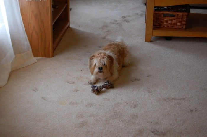 Not Looking Forward To Muddy Paws In The House This Winter Eliminate The Problem And In Carpet Cleaning Hacks Carpet Cleaning Solution Natural Carpet Cleaning