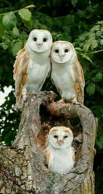 三羽のフクロウが仲良く並ぶ壁紙