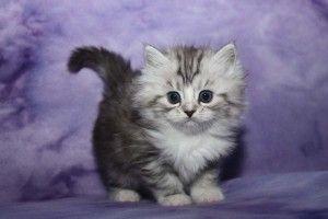 ragamuffin cat Gatos, Kawaiis
