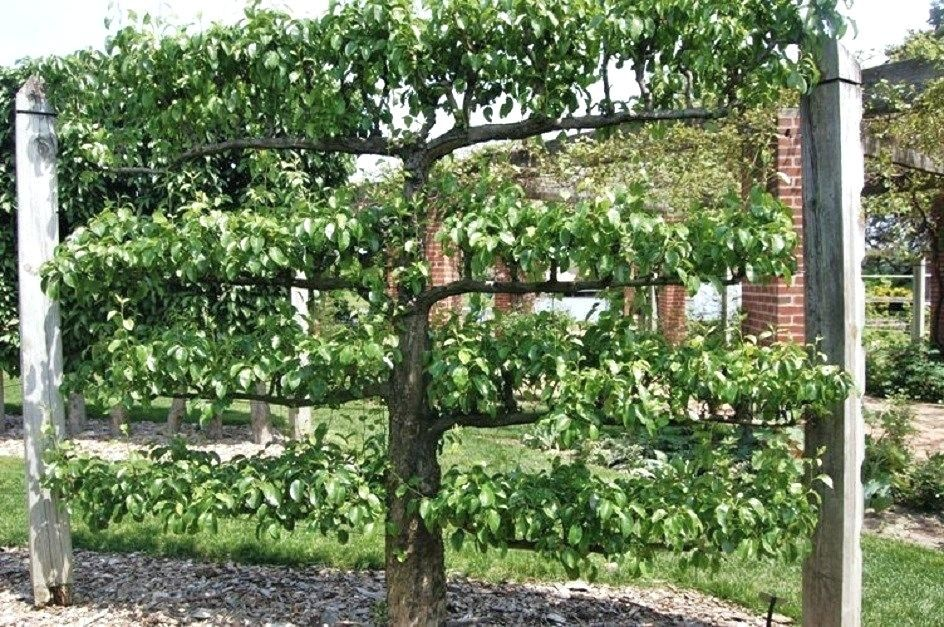 Espalier Apple Trees Espaliered Trees At Mount In In The Colonies An Espalier Was Espalier Fruit Trees In Contain Espalier Fruit Trees Living Fence Fruit Trees