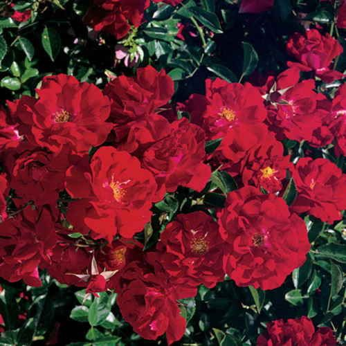 Roses In Garden: Red Ribbons Ground Cover: Zone 4, 2 Feet High, 4 Feet Wide