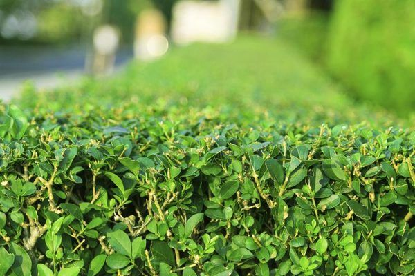 How To Find A Boxwood That Doesn T Smell Like Cat Urine Hunker Outdoor Gardens English Boxwood Garden Plants