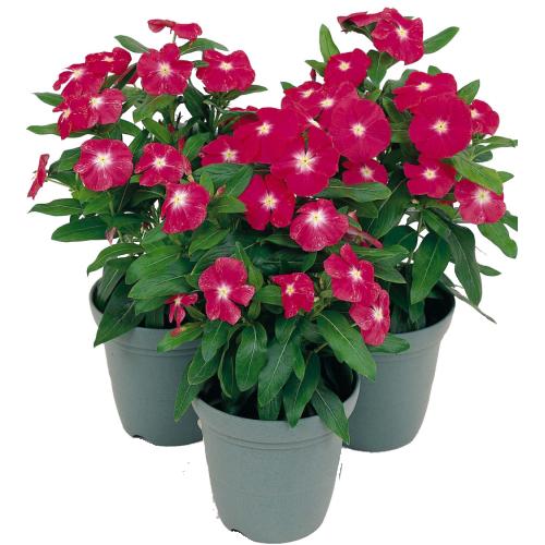 Toko Tanaman Hias Online Bunga Bunga Indah Tanaman