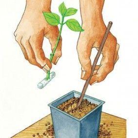 Photo of Comment bouturer le lilas : les bons gestes
