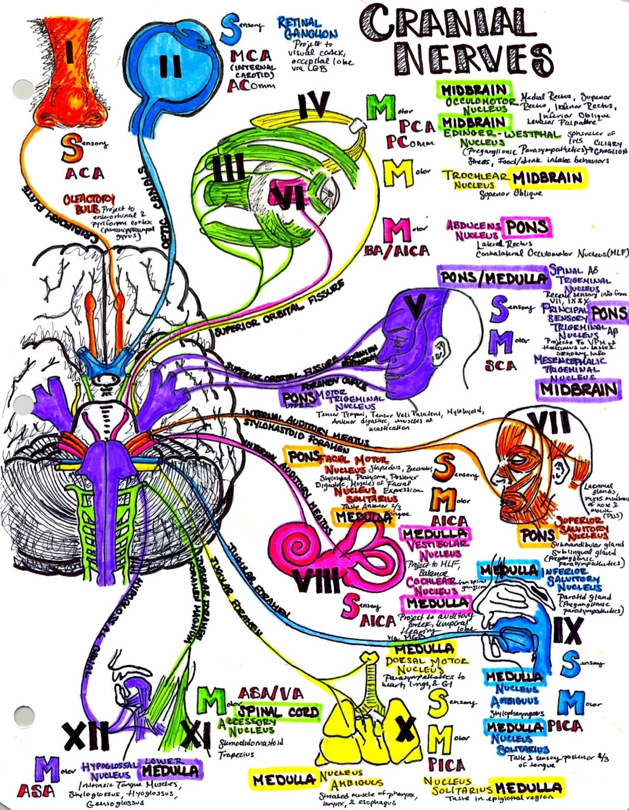 Cranial nerves! | art and photography | Pinterest | Cranial nerves ...