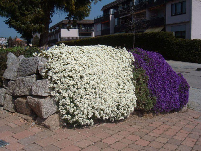 Piante perenni l 39 aubretia cruciferae adatta per giardini for Piante perenni da bordura