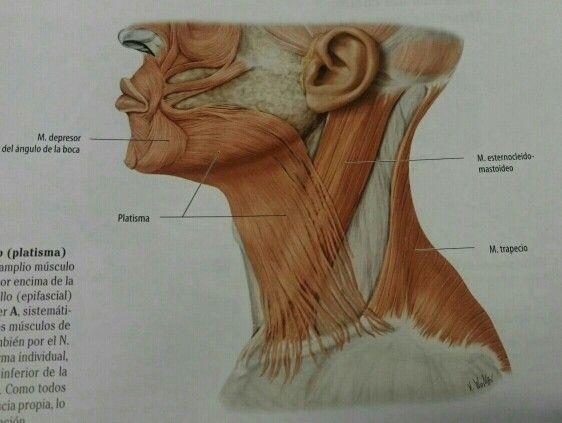 Prom. Músculos cara cuello