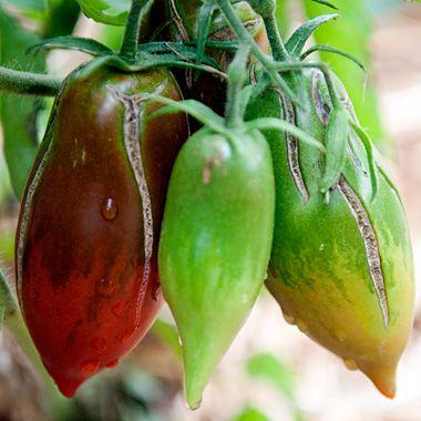 Black Icicle 20 graines//seeds//semillas tomate//tomato