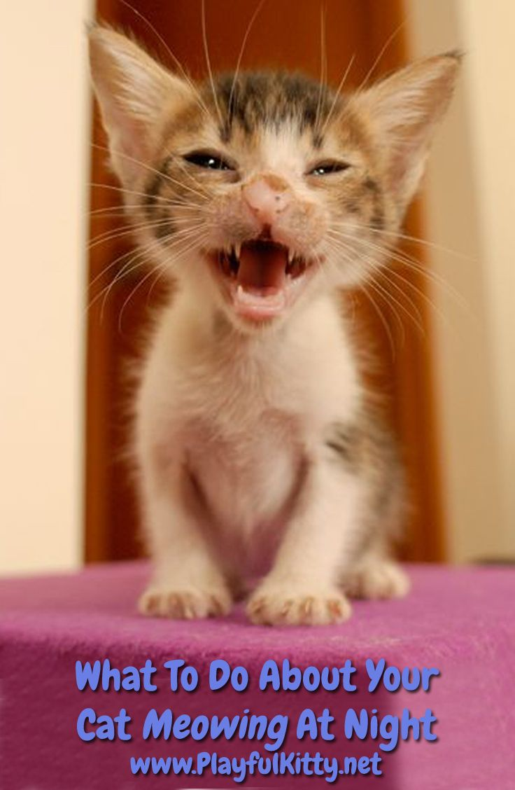 What To Do About Your Cat Meowing At Night Playful Kitty Cat Meowing At Night Cat Care Puppies And Kitties
