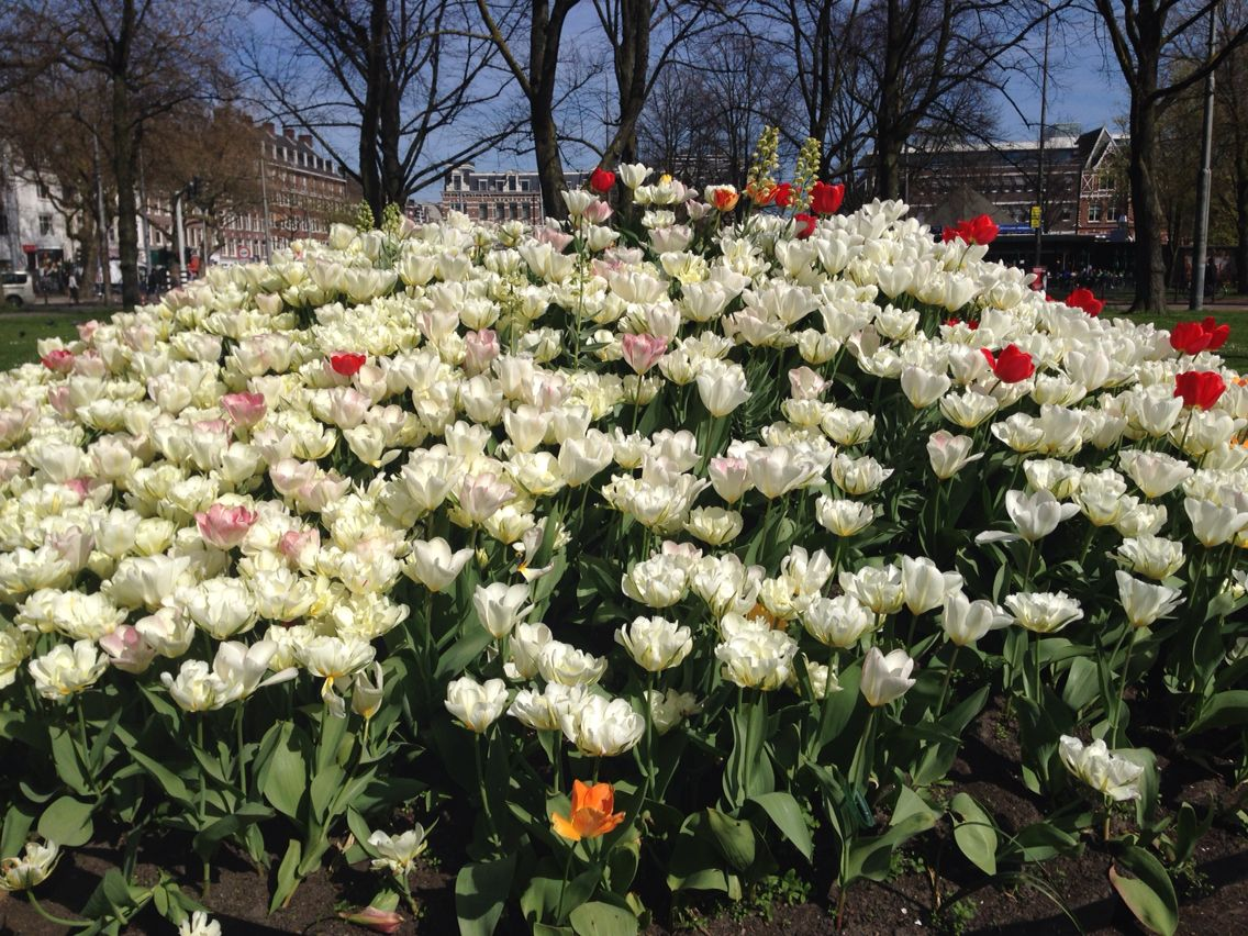 Tulips all over
