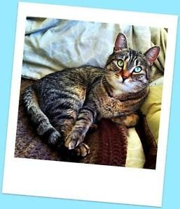 """Young Male Cat Tabby GUY"""" London"""