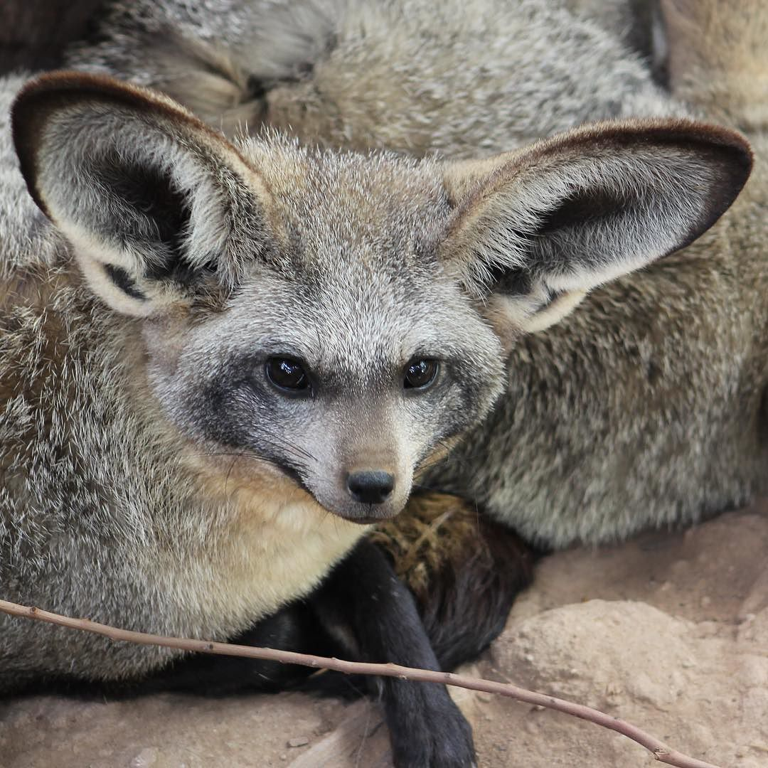 This little bat-eared fox stole my heart... I mean come on! Look at that face!!  #Oudtshoorn #travel #animallover #batearedfox #fox #cutenessoverload