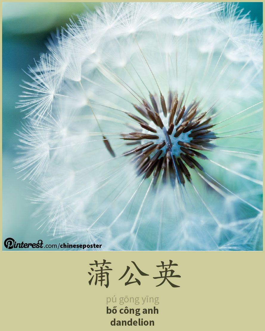蒲公英 - Púgōngyīng - bồ công anh - dandelion