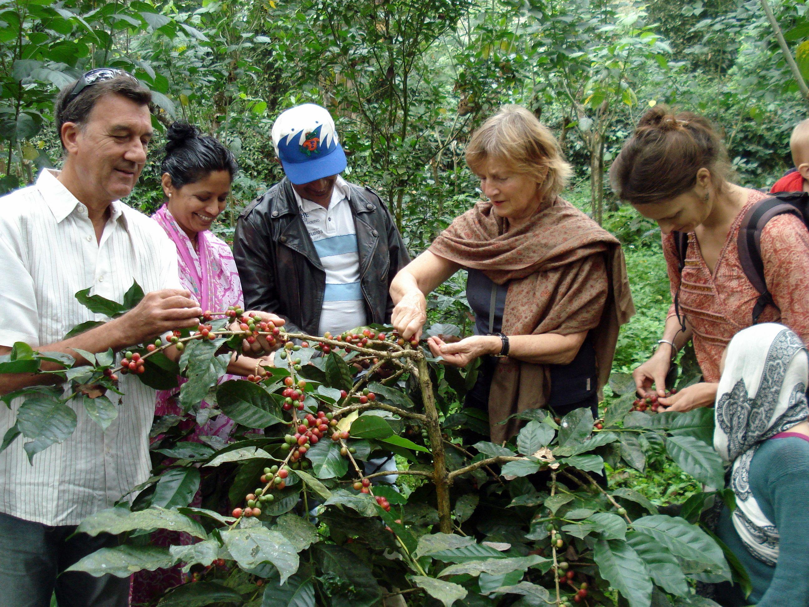 Harvesting organic coffee in Best honeymoon